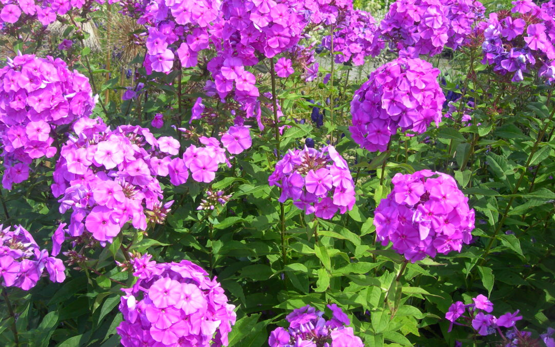 While Enjoying Autumn's Glow, Perennials Can Be Trimmed Low
